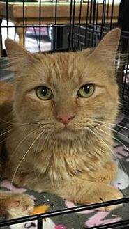 Domestic Longhair Cat for adoption in McKinney, Texas - Maggie