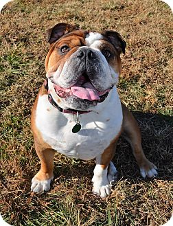 English Bulldog Dog for adoption in Westport, Connecticut - *Bubba - PENDING
