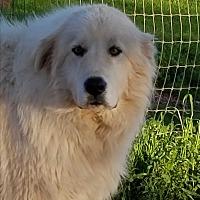 Adopt A Pet :: Patrone - Red Bluff, CA