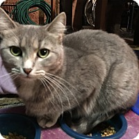 Domestic Shorthair Cat for adoption in Whiting, Indiana - Noreen