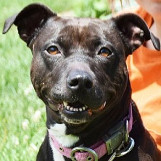 American Staffordshire Terrier/Boxer Mix Dog for adoption in Huntley, Illinois - Sasha