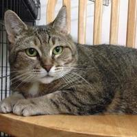 Domestic Shorthair/Domestic Shorthair Mix Cat for adoption in Montreal, Quebec - Ursula