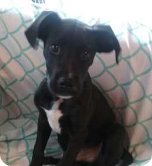 Labrador Retriever/Hound (Unknown Type) Mix Puppy for adoption in Akron, Ohio - Hawkens - PENDING