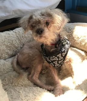 Poodle (Miniature) Mix Dog for adoption in San Francisco, California - Gertie