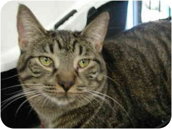 Domestic Shorthair Cat for adoption in Fort Lauderdale, Florida - Molly