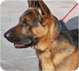 German Shepherd Dog Dog for adoption in Las Vegas, Nevada - Nacho