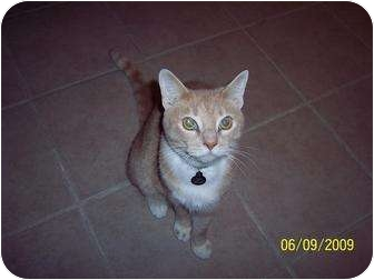 Domestic Shorthair Cat for adoption in Plymouth, Massachusetts - Simba