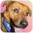 Photo 1 - Golden Retriever/Chow Chow Mix Dog for adoption in Cincinnati, Ohio - Rascal