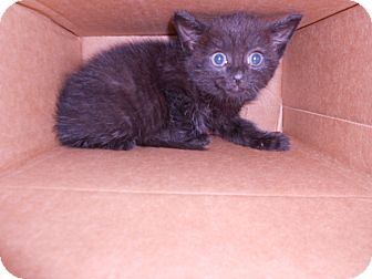 Domestic Shorthair Kitten for adoption in Maywood, New Jersey - Bagira