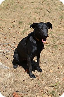 Labrador Retriever Mix Dog for adoption in Lewisville, Indiana - Delilah