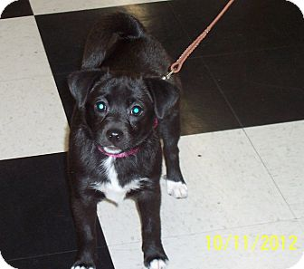 Chihuahua/Pomeranian Mix Puppy for adoption in Proctorville, Ohio, Ohio - Licorice