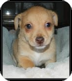 Chihuahua Mix Puppy for adoption in Hagerstown, Maryland - Topper