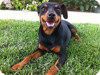 Miniature Pinscher Dog for adoption in El Cajon, California - PIERCE