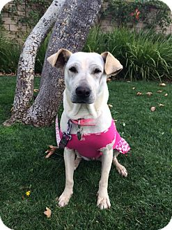 Labrador Retriever/Shar Pei Mix Dog for adoption in Santa Monica, California - Sweet DORIS