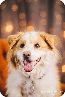 Australian Shepherd/Sheltie, Shetland Sheepdog Mix Dog for adoption in Portland, Oregon - Ducky