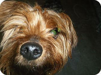 Silky Terrier/Yorkie, Yorkshire Terrier Mix Dog for adoption in Santa Clara, New Mexico - Higgins