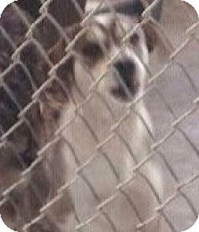Husky Mix Puppy for adoption in Sunnyvale, California - Heidi