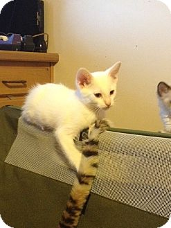 Colorpoint Shorthair Kitten for adoption in Fountain Hills, Arizona - EMO