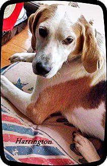 Pointer/Harrier Mix Dog for adoption in Franklinton, North Carolina - Harrington