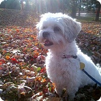 Adopt A Pet :: Lucy - Vaudreuil-Dorion, QC
