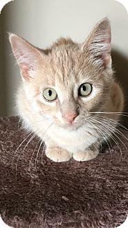 Domestic Shorthair Kitten for adoption in Des Moines, Iowa - Eden