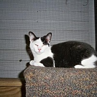 American Shorthair Cat for adoption in Land O Lakes, Florida - Shadow