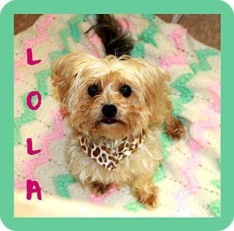 Maltese/Yorkie, Yorkshire Terrier Mix Dog for adoption in Covington, Louisiana - Lola