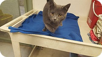 Russian Blue Cat for adoption in Indianola, Iowa - C8