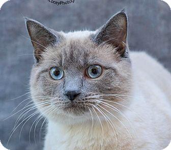 Siamese Cat for adoption in Cincinnati, Ohio - Ben