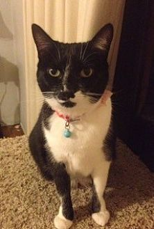 Domestic Mediumhair Cat for adoption in San Jose, California - Martini