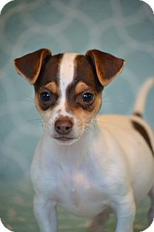 Miniature Pinscher Mix Puppy for adoption in Allentown, Pennsylvania - Bagheera