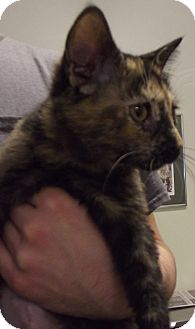 Domestic Shorthair Kitten for adoption in Cheboygan, Michigan - ABBY