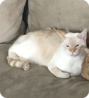 Siamese Cat for adoption in Jacksonville, North Carolina - Sanford