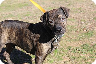 Boxer/Terrier (Unknown Type, Medium) Mix Dog for adoption in Conway, Arkansas - Captain