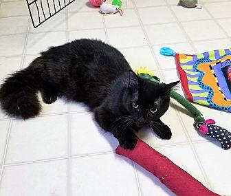 Domestic Mediumhair Cat for adoption in Burgaw, North Carolina - Magic
