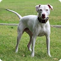 Adopt A Pet :: Milky way - Va Beach, VA