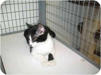 Domestic Shorthair Kitten for adoption in Houston, Texas - Buddy