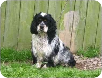Cocker Spaniel Dog for adoption in Muldrow, Oklahoma - Reggie