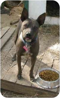 Xoloitzcuintle/Mexican Hairless Mix Dog for adoption in Sealy, Texas - Melody