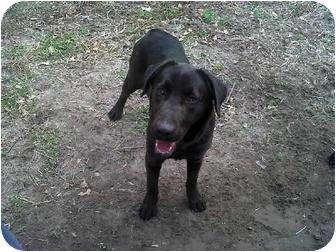 Labrador Retriever Mix Dog for adoption in East Hampton, New York - Bobbi