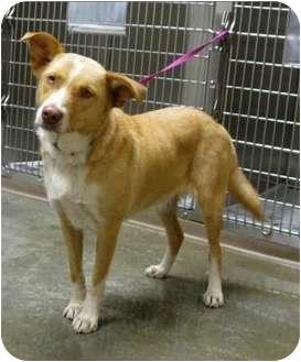 Australian Shepherd/Labrador Retriever Mix Dog for adoption in Overland Park, Kansas - Mabelline