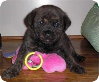 Plott Hound/Hound (Unknown Type) Mix Puppy for adoption in Marietta, Georgia - Graphite