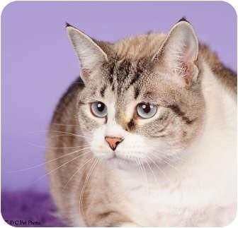 Domestic Shorthair Cat for adoption in Columbus, Georgia - Addie 1A12