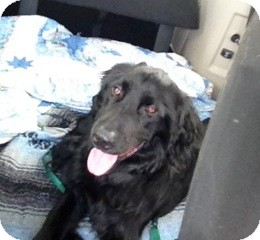 Flat-Coated Retriever Mix Dog for adoption in Danbury, Connecticut - Tigger