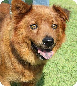 Chow Chow/Retriever (Unknown Type) Mix Dog for adoption in Sacramento, California - Selvig