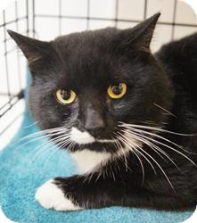 Domestic Shorthair Cat for adoption in Medford, Massachusetts - Pontiac