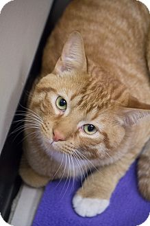 Domestic Shorthair Cat for adoption in Chicago, Illinois - Johnny Lap Cat