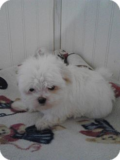 Maltese Puppy for adoption in McMinnville, Tennessee - Little Sam