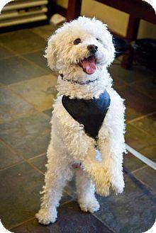 Bichon Frise/Poodle (Miniature) Mix Dog for adoption in Orange, California - Henry