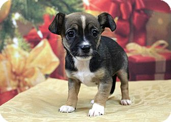 Cavalier King Charles Spaniel/Chihuahua Mix Puppy for adoption in Westminster, Colorado - Ashley
